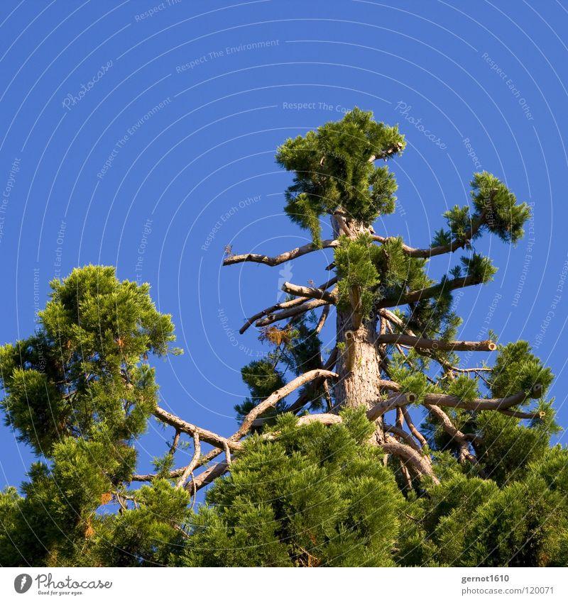 Haarausfall alt Himmel Baum grün blau Sommer Wald Tod Holz Schicksal Kohlendioxid Nadelbaum Brennholz Waldsterben
