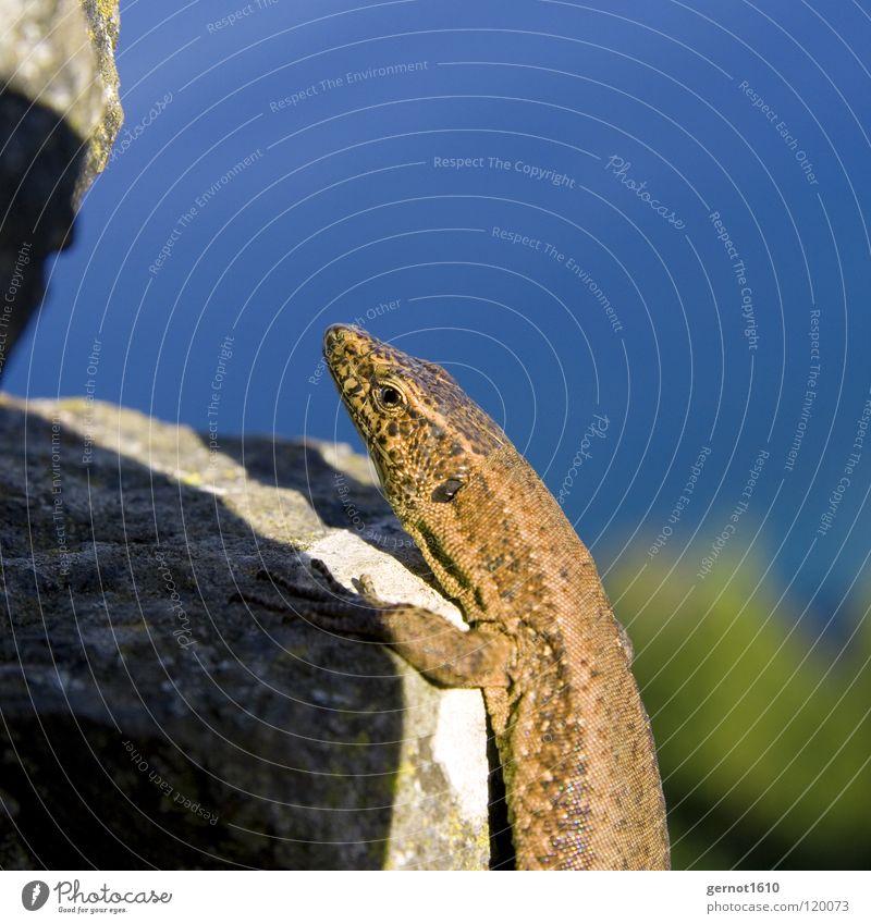 Klettermaxe Echsen Echte Eidechsen braun Neugier Reptil Tier bestrahlen Licht Himmelskörper & Weltall blau Stein Klettern Sonne Scheune