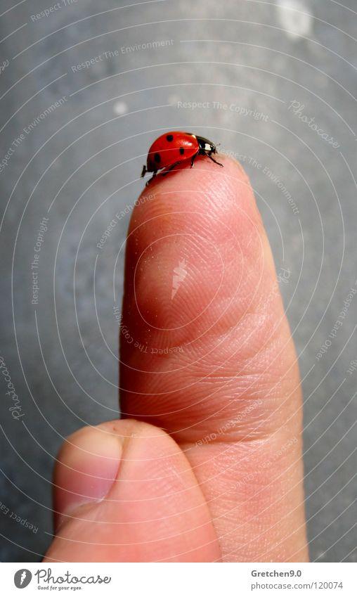 Marienkäfer rot Glück grau Stein Haut Finger Insekt Punkt Käfer