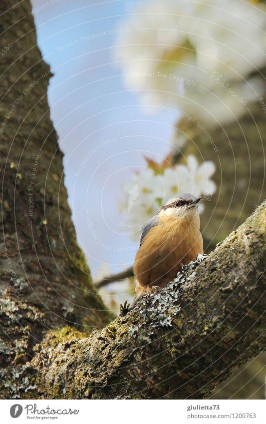 Kleiber im Kirschbaum Natur blau schön weiß Baum Tier Frühling natürlich Glück klein Garten Vogel orange Wildtier sitzen ästhetisch