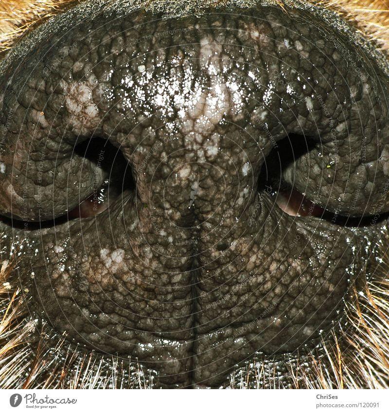 Hundenasen riechen gut Tier Loch Nasenloch Kolben schwarz braun Terrier atmen Säugetier feucht nass trocken heiß Nordwalde Makroaufnahme Nahaufnahme