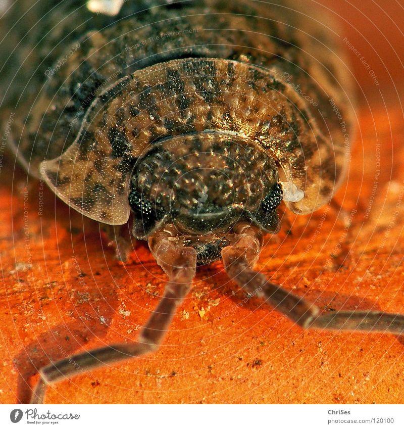 Wenn Asseln rasseln...: Kellerassel (Porcellio scaber)_02 alt rot Auge Tier grau Sand braun Angst dreckig Insekt Ekel Panik Scheune beige Fühler