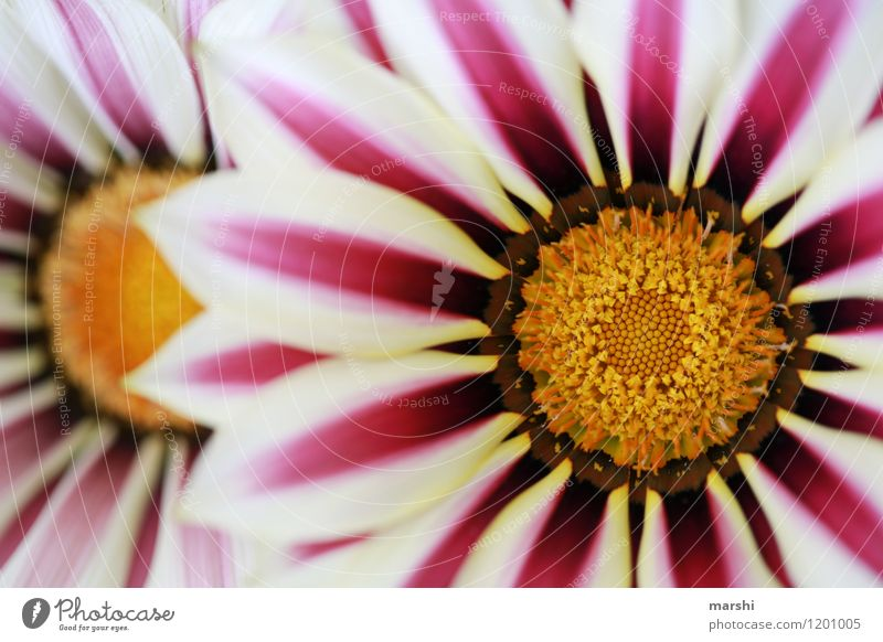 Mittagsgold Natur Pflanze schön Sommer Blume Blüte Stimmung Klima Blühend Blütenblatt sommerlich Gazanie