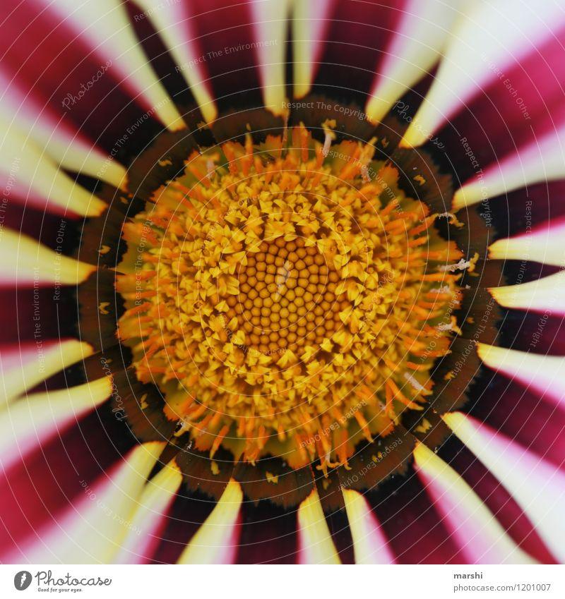 die Mitte finden Natur Pflanze Sommer Blume Stimmung Blütenblatt Blütenstempel Gazanie schön Innenaufnahme Duft Farbfoto Außenaufnahme Nahaufnahme