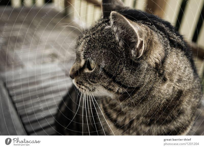 Balkonkatze Katze schön Tier gelb braun warten beobachten einzigartig Neugier nah Fell Haustier Tiergesicht Interesse Stolz kuschlig