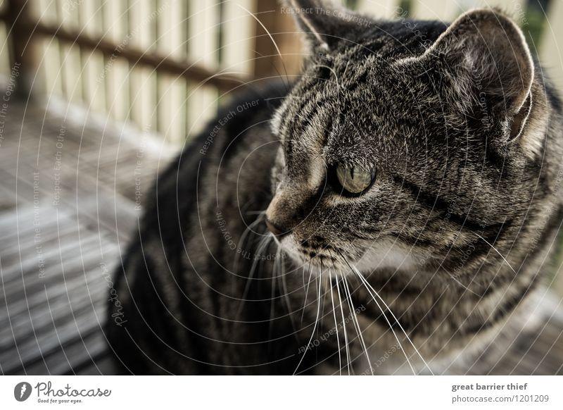 Katze auf Balkon Tier gelb Frühling natürlich feminin Haare & Frisuren braun elegant beobachten weich Fell Wachsamkeit Haustier Tiergesicht Stolz