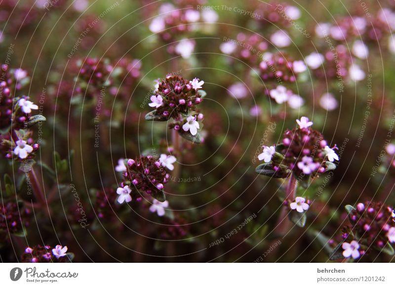tomatensoßeninhaltsstoff Natur Pflanze Frühling Sommer Schönes Wetter Blume Blatt Blüte Nutzpflanze Kräuter & Gewürze Majoran Oregano Thymian Garten Park Wiese