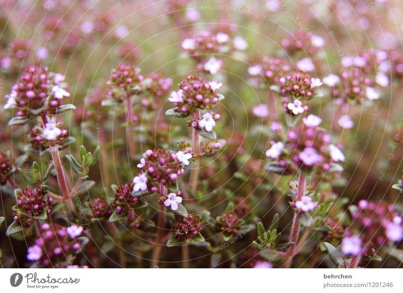 schmackhaft Natur Pflanze Sommer Blume Blatt Blüte Nutzpflanze Kräuter & Gewürze Oregano Thymian Majoran Garten Park Wiese Blühend Duft verblüht Wachstum schön