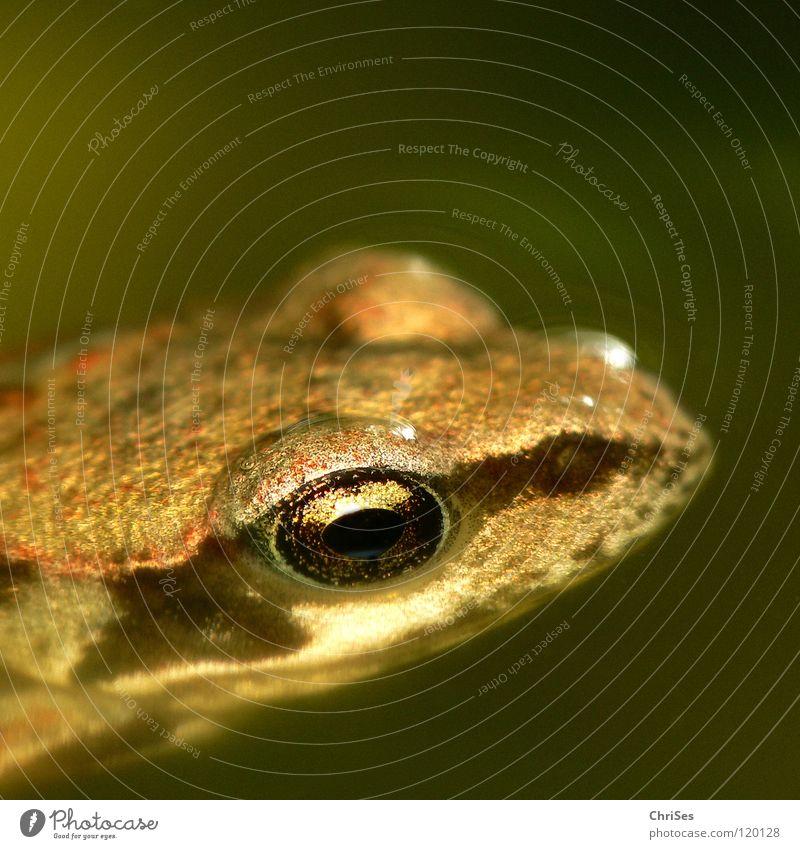 Gross geworden: Grasfrosch (Rana temporaria) Wasser Sommer Tier Auge Wiese Gras springen braun Feld Fluss Nahaufnahme Im Wasser treiben Frosch Teich Ekel Bach