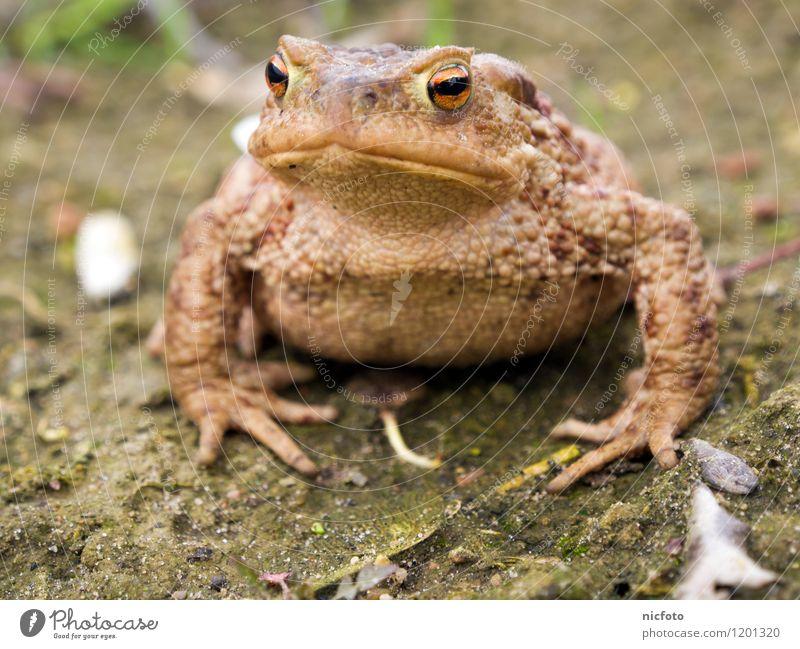 Kröte denkt nach Tier Frosch 1 beobachten nass schleimig braun grün ruhig Farbfoto Gedeckte Farben Außenaufnahme Nahaufnahme Tag Zentralperspektive Tierporträt