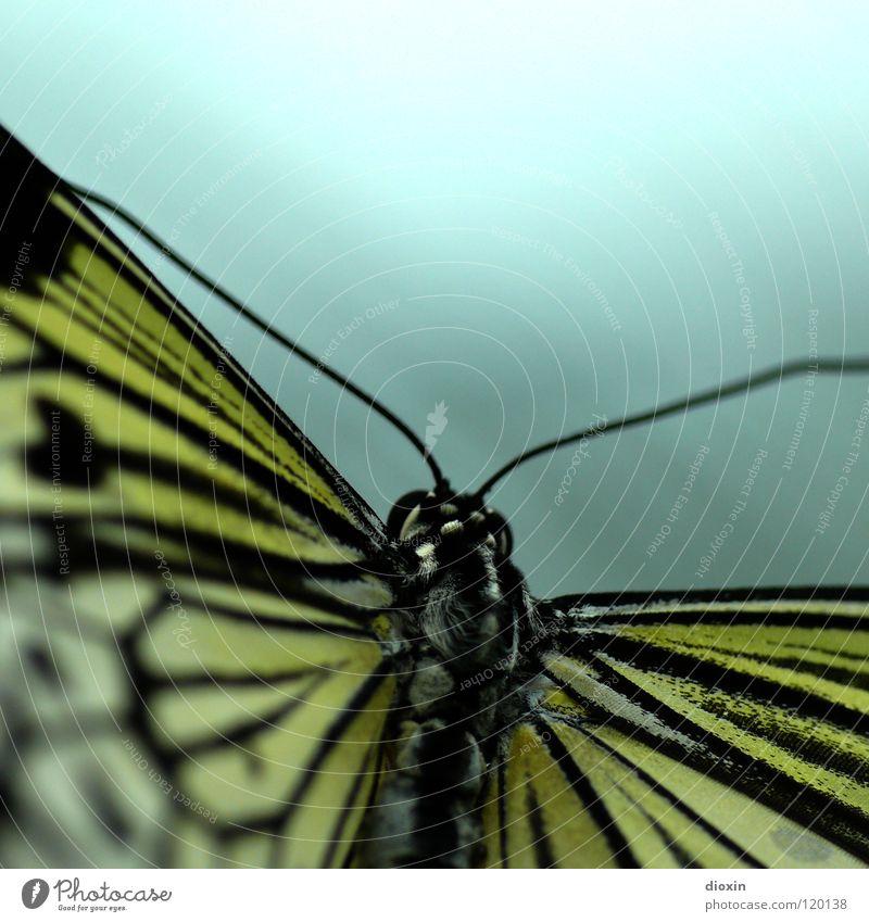 smooth* Natur Tier Schmetterling Flügel 1 fliegen krabbeln exotisch schön weich Vorsicht ruhig Leichtigkeit Insekt Fühler Sechsfüßer Fluginsekt Chitin