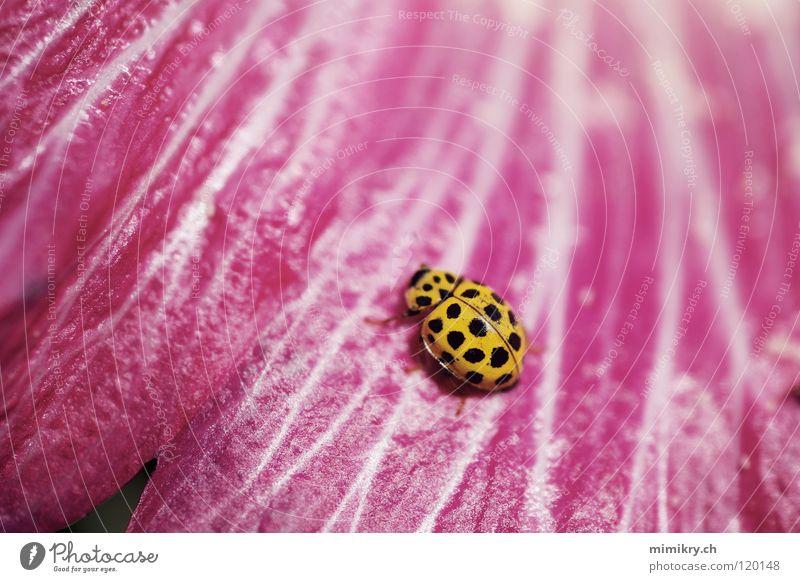 Pünktchen rosa Blume Blüte Marienkäfer gepunktet gelb schwarz Insekt Sommer Käfer microkosmos Punkt