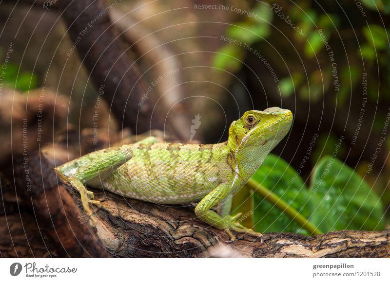 Basilisk auf einem Baumstamm - Grüne Energie Umwelt Natur Tier exotisch Urwald Schuppen Helm Basilisk Kronenbasilisk Helmeted Baselisk Terrarium krabbeln Reptil