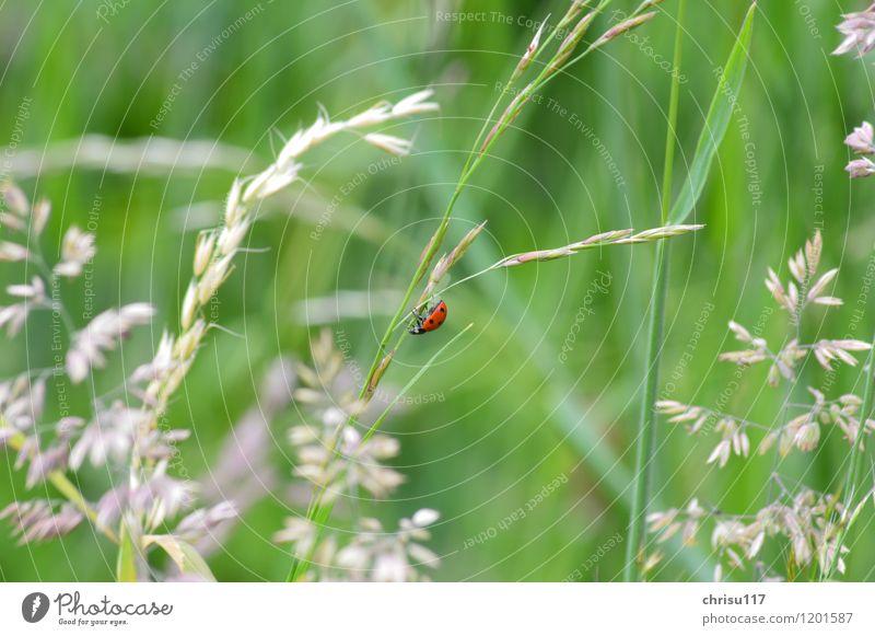 und wieder runter ... Natur Landschaft Tier Wildtier Käfer 1 Bewegung hängen krabbeln Marienkäfer Farbfoto Außenaufnahme Nahaufnahme Tag Sonnenlicht