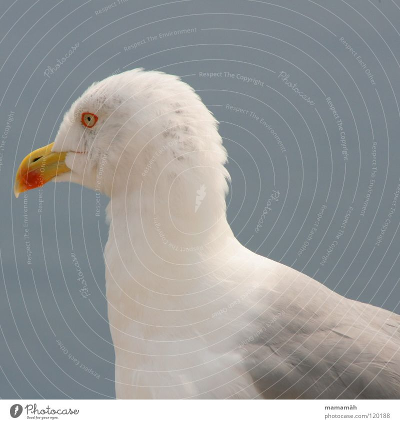 Stiller Beobachter! Teil 2 Möwe Meer See Schnabel Feder Konzentration Vogel Seemöwe Flügel Himmel fliegen warten sitzen beobachten Ausschau halten erspähen bird