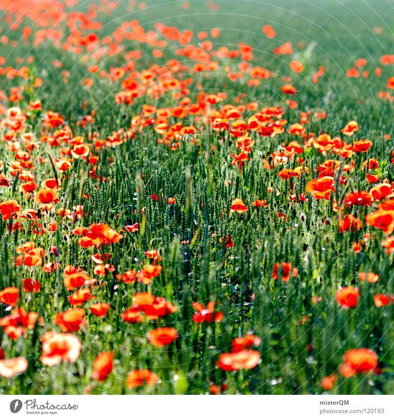 Biene Mohni's Revier. Feld Blüte Pflanze Insekt Nutztier rot grün lecker heiß Blümchensex Spuren Wasserrinne Schlafmohn Pionierpflanze Natur Quadrat Ernährung