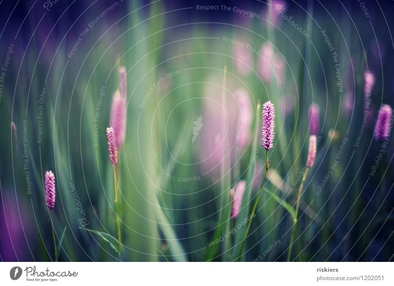 farbenmeer Umwelt Natur Pflanze Frühling Sommer Schönes Wetter Gras Blüte Wildpflanze Wiese Blühend leuchten ästhetisch Fröhlichkeit frisch natürlich schön blau