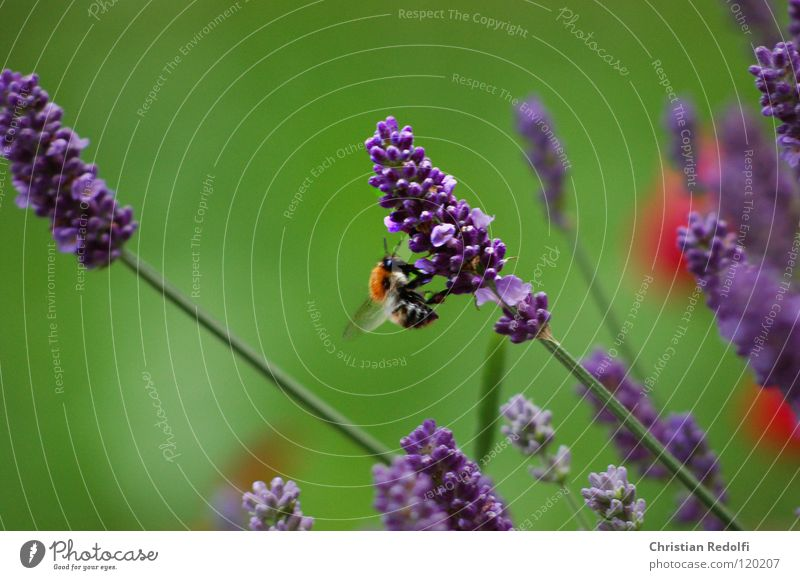 ein bisschen sommer (hummel) grün blau rot Sommer Ferien & Urlaub & Reisen Flügel Insekt Stengel Biene Frankreich Hummel Lavendel Blütenstiel Heilpflanzen Sammler