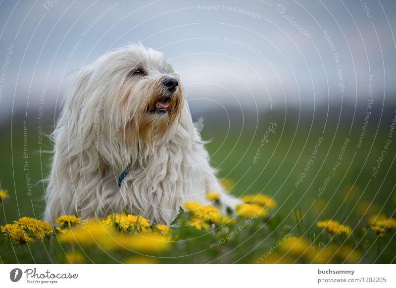 Löwenzahn Natur Tier Pflanze Blume Blüte Fell langhaarig Haustier Hund 1 klein gelb grün weiß Bichon Haushund Havaneser Rassehund sitz Farbfoto Außenaufnahme