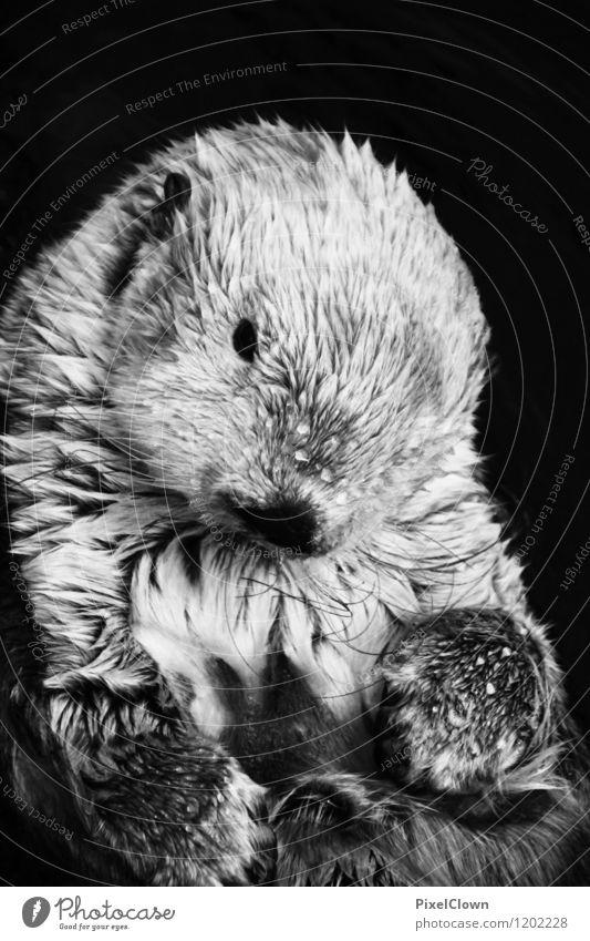 Fischotter exotisch Ferien & Urlaub & Reisen Ausflug Sommer Landwirtschaft Forstwirtschaft Natur Wasser Seeufer Flussufer Meer Teich Tier Wildtier Tiergesicht