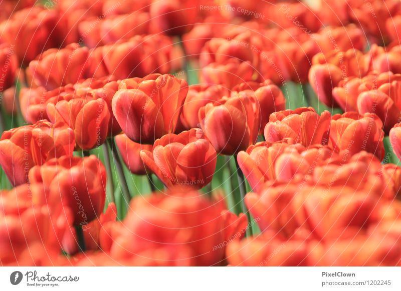 Tulpen Natur Ferien & Urlaub & Reisen Pflanze schön Sommer Blume Liebe Blüte Gefühle Stil Glück Garten Lifestyle Park träumen orange