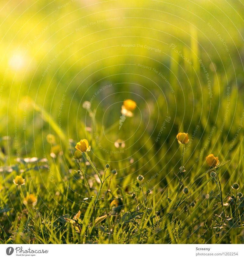 Frühlingsfrisch | UT Köln Natur Landschaft Pflanze Sonnenaufgang Sonnenuntergang Sonnenlicht Sommer Schönes Wetter Blume Gras Blüte Sumpf-Dotterblumen Park