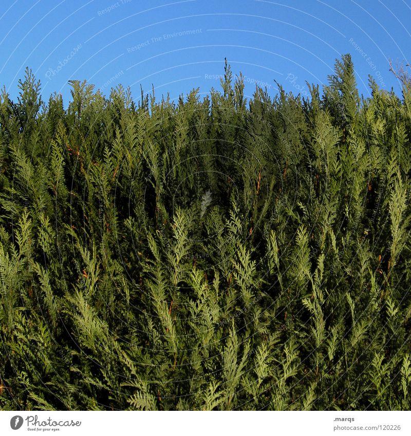 Boundary Pflanze Hecke Grünpflanze Wachstum Sträucher grün Schatten Makroaufnahme Nahaufnahme Natur Tuja Tujas Zaun blau
