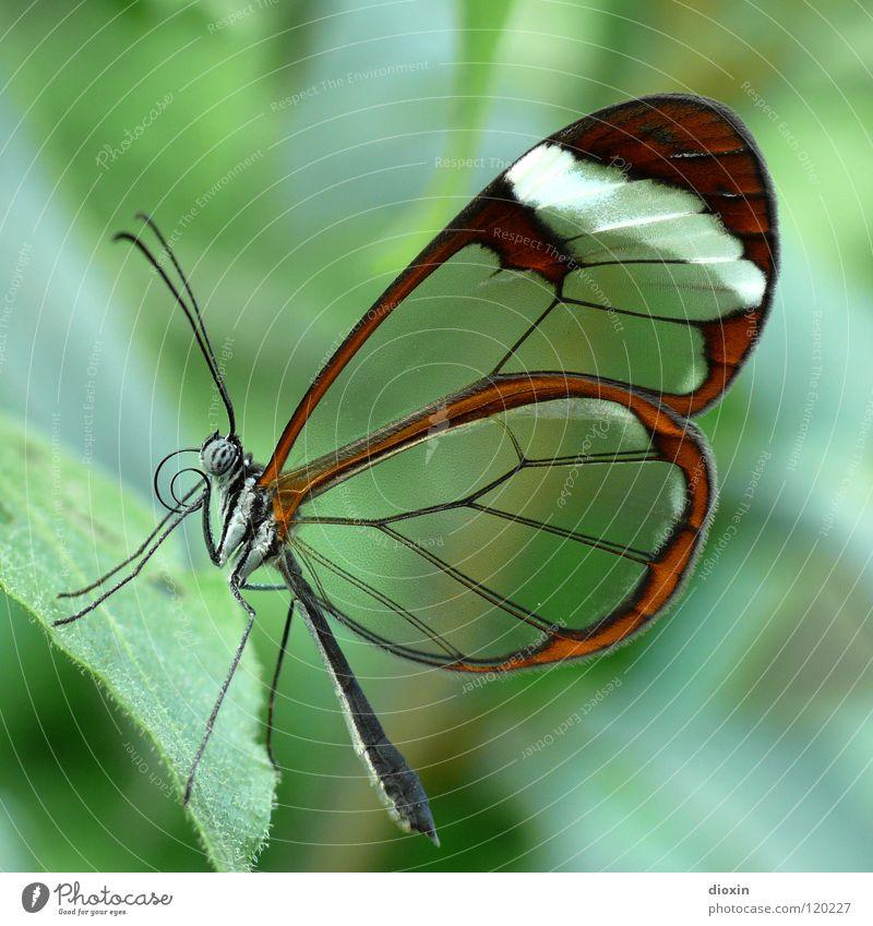smooth** Natur schön grün Tier Leben Makroaufnahme fliegen Flügel Insekt zart Schmetterling leicht durchsichtig sanft Schweben Leichtigkeit