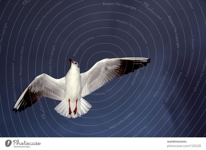 Zum Abschied winke ich Dir zu Möwe Lachmöwe Vogel winken Trauer Richtung Meer Strand Möve Himmel Luftverkehr fliegen Flügel Feder Trennung Traurigkeit zeigen