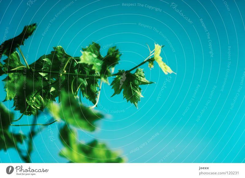 Das ist der Wahrheit Außenaufnahme mehrfarbig Färbung grün Pflanze Ranke Sträucher türkis Weinblatt Sommer Himmel blau echte weinrebe hell himmelsblick