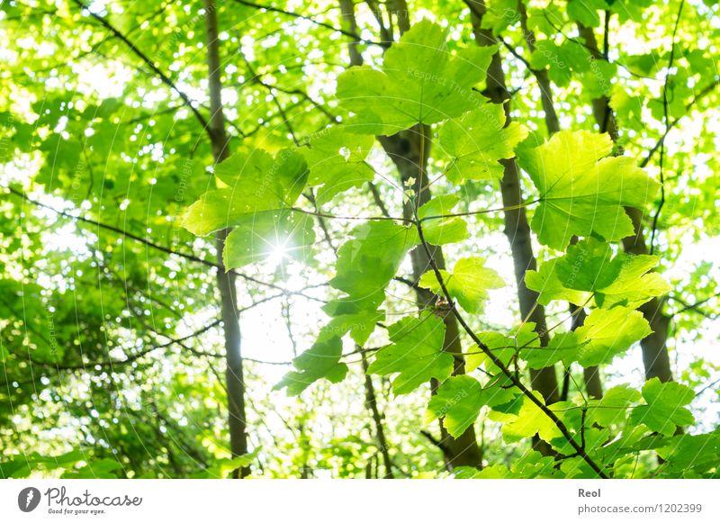 Grün Natur Sonne Frühling Sommer Pflanze Baum Blatt Wildpflanze Blätterdach Wald grün hell Gegenlicht Wärme Schatten strahlend Farbfoto Gedeckte Farben
