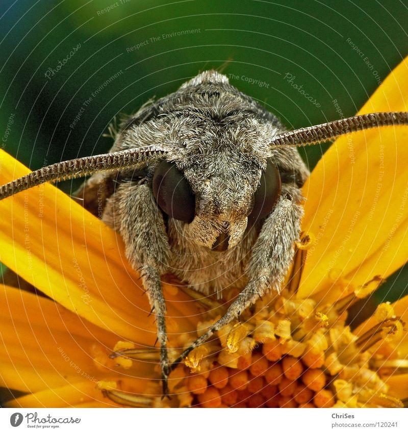 schaut ins Land : Windenschwärmer_05 (Agrius convolvuli) Schmetterling Fell Insekt Tier Sommer grau braun rot Frühling gelb grün Blütenblatt Rüssel Fühler Motte