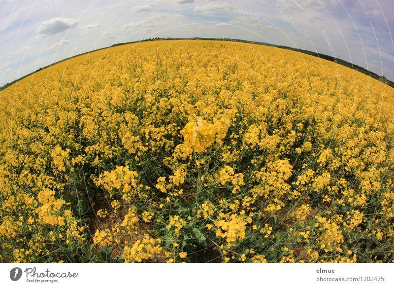 Rapsody Umwelt Natur Landschaft Pflanze Erde Himmel Wolken Horizont Sonne Frühling Schönes Wetter Blüte Nutzpflanze ölfrucht Rapsfeld Feld Kugel Duft nachhaltig