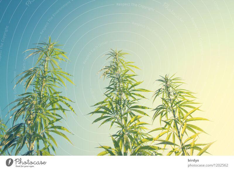 Cannabispflanzen im Freiland aus der Froschperspektive Hanf Nutzpflanze Alternativmedizin Himmel Sommer Schönes Wetter Pflanze heiß hoch nachhaltig positiv