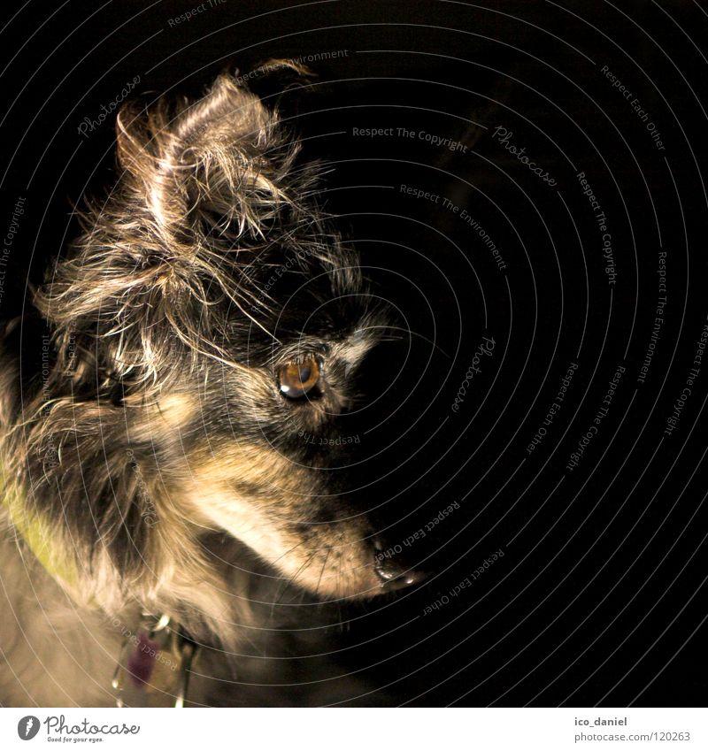 *Zombie-Opi* Haustier Hund Tiergesicht 1 alt dunkel gruselig klein niedlich gehorsam Dackel Schnauze Halsband Säugetier spukhaft Hundehalsband Nase Farbfoto