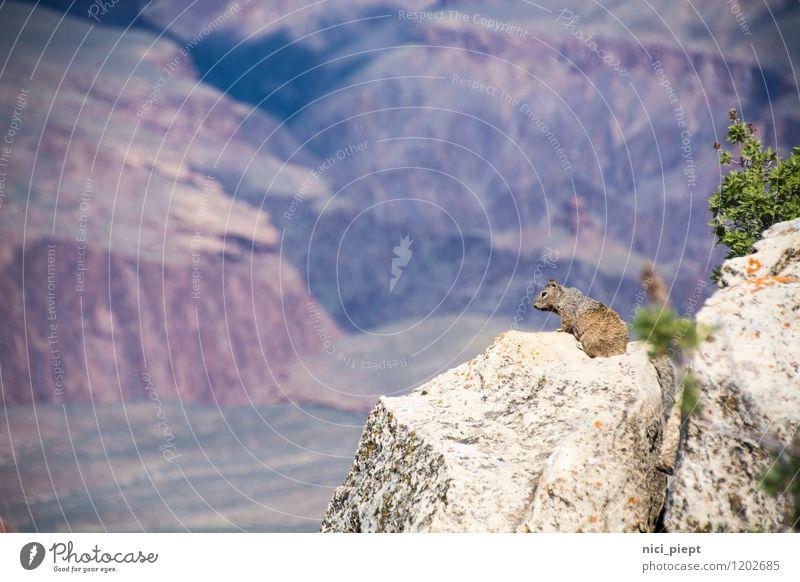 König der Tiere Natur Pflanze Landschaft ruhig Tier Berge u. Gebirge natürlich Felsen träumen Wildtier authentisch Sträucher beobachten niedlich Neugier Unendlichkeit