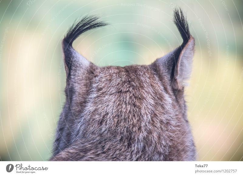 Der Luchs IIII Stil Umwelt Natur Pflanze Wald Tier Wildtier 1 Abenteuer ästhetisch Farbfoto Außenaufnahme Menschenleer Unschärfe