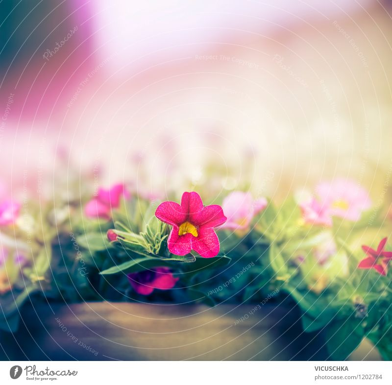 Petunie im Blumentopf Natur Pflanze Sommer Wand Frühling Herbst Stil Mauer Hintergrundbild Garten Lifestyle rosa Fassade Park Design