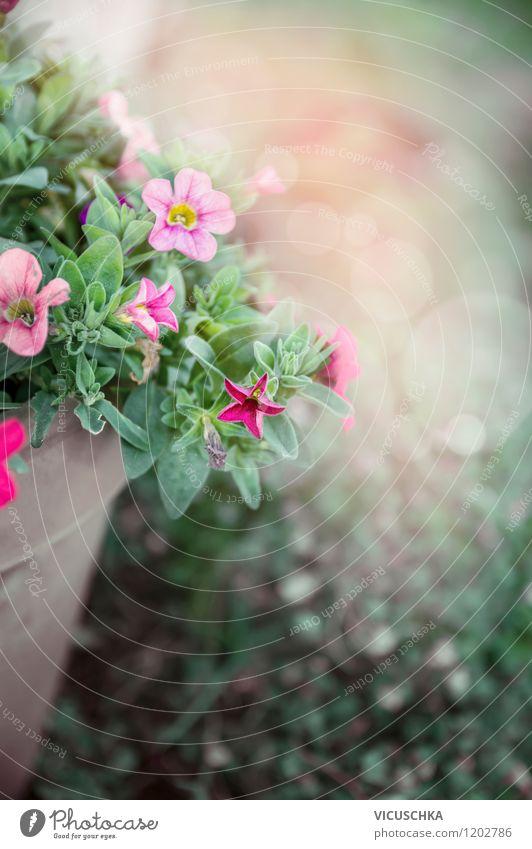 Blumentopf mit Petunien Stil Design Sommer Garten Natur Pflanze Frühling Herbst Blatt Blüte Topfpflanze Park Container rosa Hintergrundbild flowers träumen
