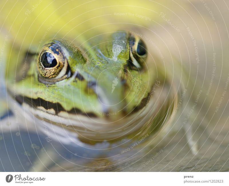 Frosch Umwelt Natur Tier Frühling Sommer Teich Wildtier Tiergesicht 1 grün Schwimmen & Baden Wasser Auge Wolken Farbfoto Außenaufnahme Nahaufnahme Makroaufnahme