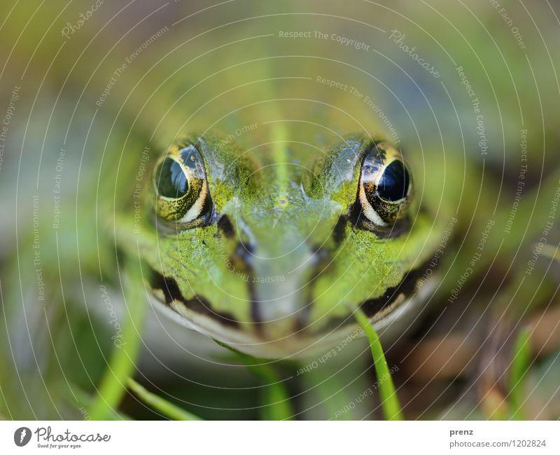 Portrait Umwelt Natur Tier Frühling Sommer Schönes Wetter Gras Wiese Wildtier Tiergesicht 1 grün Blick Auge sitzen Frosch Farbfoto Außenaufnahme Nahaufnahme