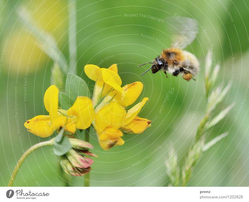 schöner fliegen Natur Pflanze grün Sommer Blume Tier Umwelt gelb Frühling Blüte Garten Park Wildtier Schönes Wetter Insekt