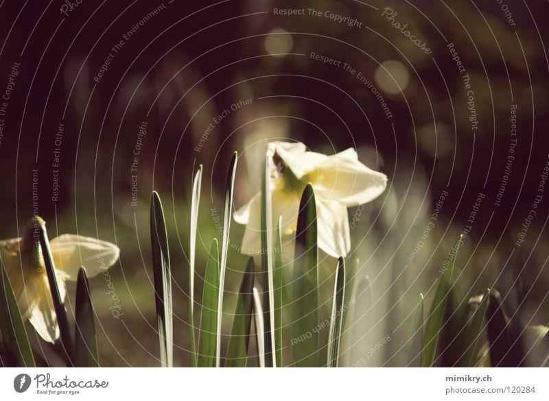 Frühling Gelbe Narzisse Blume grün Sonnenlicht Frühlingsblume gelb Pflanze