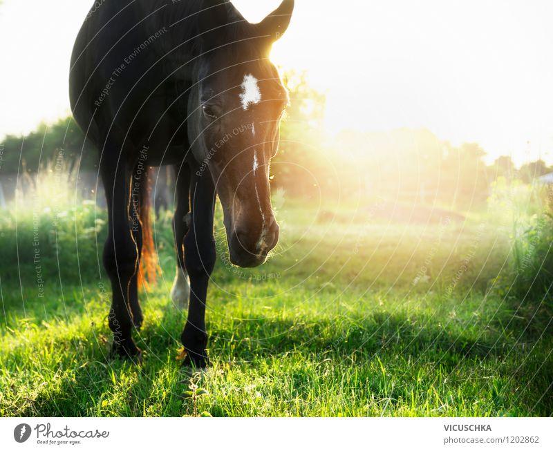 Sonnenuntergang auf grüner Pferdeweide Natur Pflanze Sommer Landschaft Tier gelb Frühling Herbst Wiese Stil Hintergrundbild Lifestyle Design Schönes Wetter