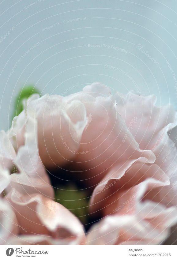 Rosa Mohn Lifestyle elegant Design schön Wellness harmonisch Wohlgefühl ruhig Spa Sommer Pflanze Blume Wildpflanze Blütenblatt Staubfäden Mohnkapsel Unkraut