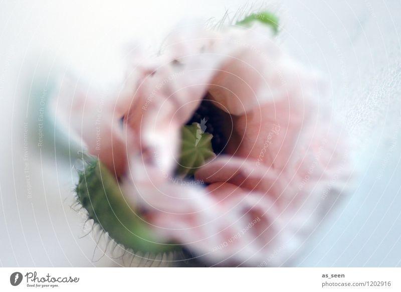 Zarte Mohnblüte Natur Pflanze schön Farbe Sommer Blume ruhig Umwelt Frühling Stil außergewöhnlich rosa Design Dekoration & Verzierung Wachstum elegant