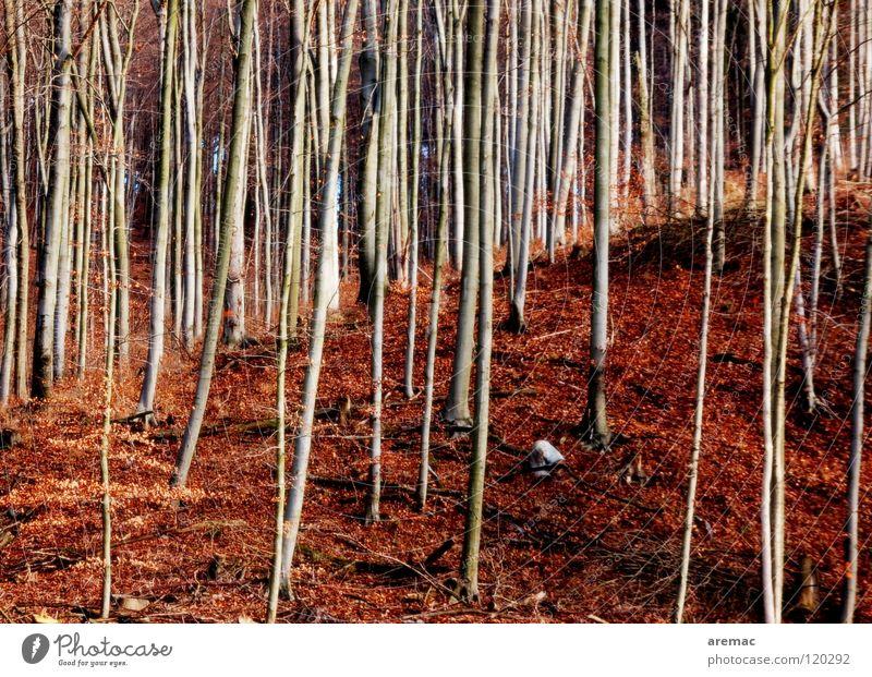 Der Wald vor lauter Bäumen Baum Blatt braun Buche wandern Bodenbelag Landschaft Natur Spaziergang