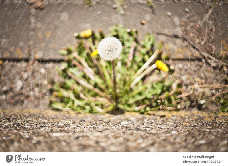 Warten auf Wind Umwelt Pflanze Frühling Blume Grünpflanze Wildpflanze Löwenzahn Taraxacum einfach Erfolg klein natürlich Neugier gelb grau grün weiß Kraft
