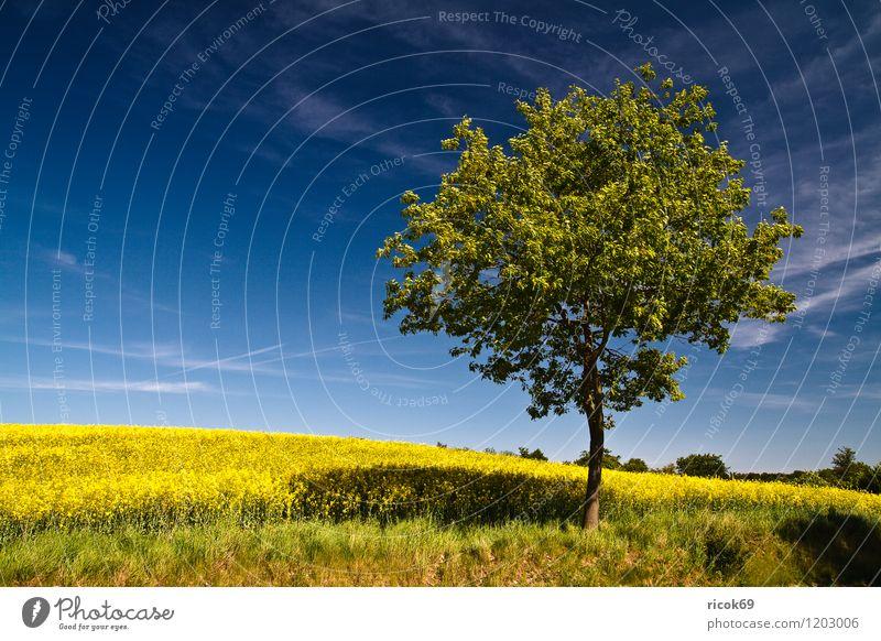 Baum am Rapsfeld Himmel Natur Ferien & Urlaub & Reisen blau Pflanze grün Landschaft Wolken Umwelt gelb Frühling Feld Idylle Schönes Wetter Landwirtschaft
