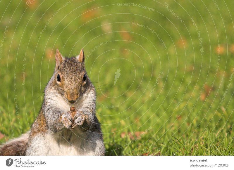 A-Hörnchen Tier Gras klein sitzen Wildtier Pause niedlich Fressen Säugetier Futter Eichhörnchen gehorsam haltend